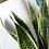 Thumbnail: Sansevieria Trifasciata (Snake Plant) in Tille Ceramic Pot (16cm)