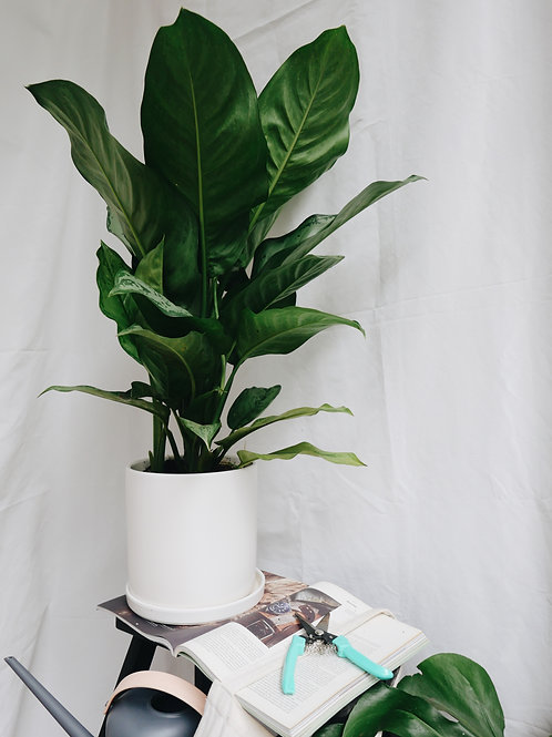 Aglaonema Freeman in TILL Ceramic Pot (20cm)