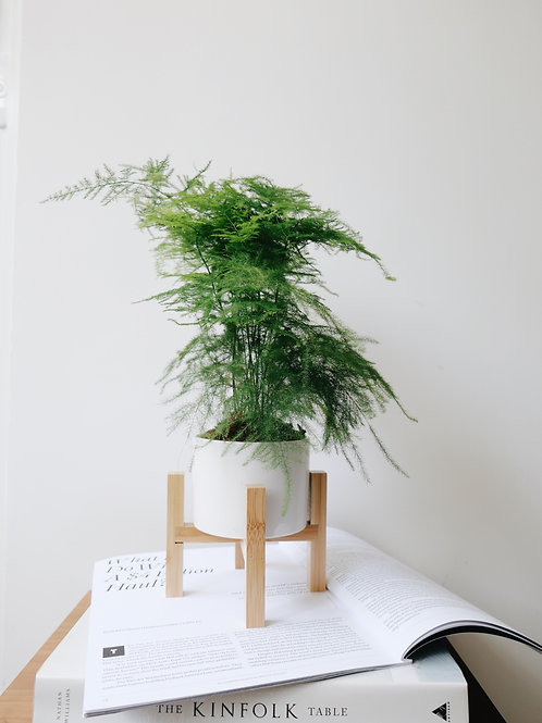 Asparagus Fern in BILLE Ceramic Pot with Stand
