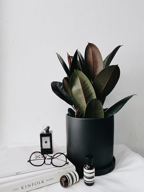 Ficus Elastica Burgundy in TILLE Ceramic Pot (16 cm)