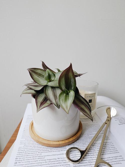 Tradescantia Zebrina in BILLE Ceramic Pot