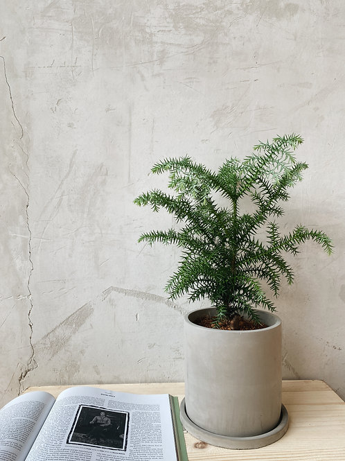 Cunninghamia Lanceolata (Pine) in BETONI Concrete Pot (16cm)