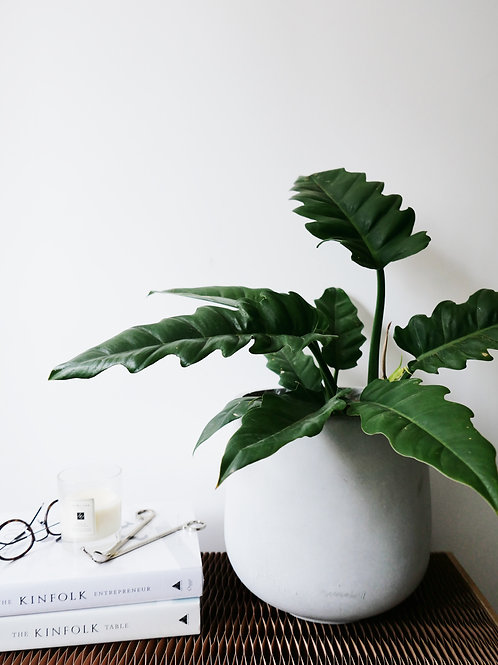 Philodendron 'Jungle Boogie'