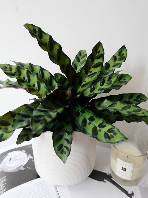 Calathea lancifolia (Rattlesnake) in RAY Ceramic Pot (18cm)