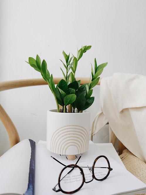ZZ Plant in RAY Ceramic Pot