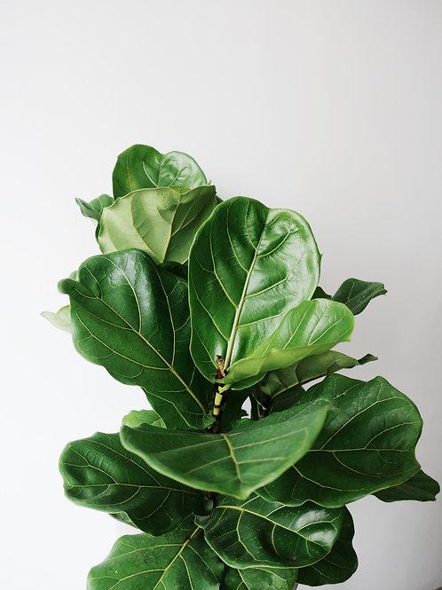 Ficus Lyrata (Fiddle Leaf Fig) 3 Stem in KIVI Stone-looking Pot