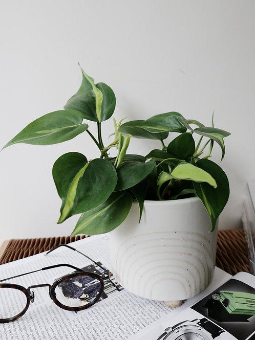Philodendron Brazil in RAY Ceramic Pot (14cm)