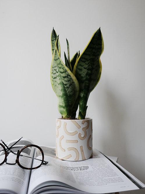 Sansevieria Trifasciata (Snake Plant) in CONFETTI Ceramic Pot