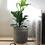 Thumbnail: Ficus Lyrata