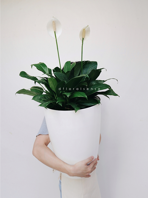 Peace Lily in Self-Watering Pot