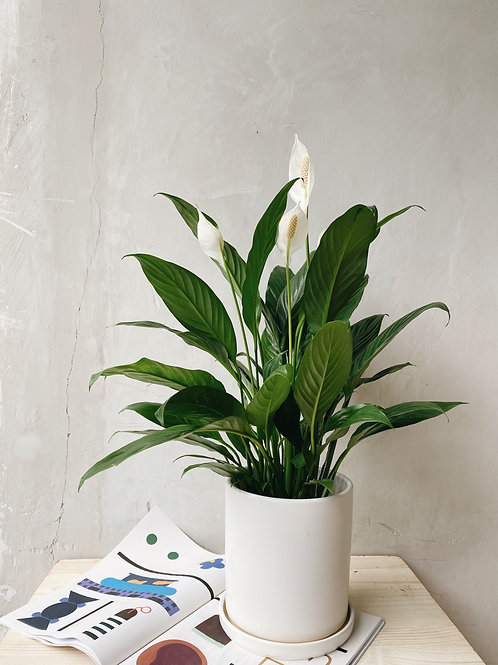 Peace Lily (Spathiphyllu)