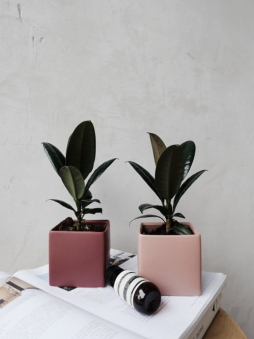 Ficus Elastica Burgundy in CUBE Ceramic Pot