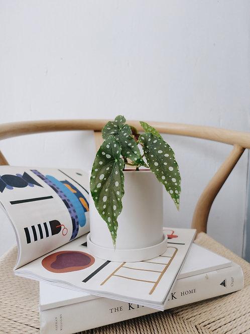 Begonia Marculata in TILLE Ceramic Pot (13cm)