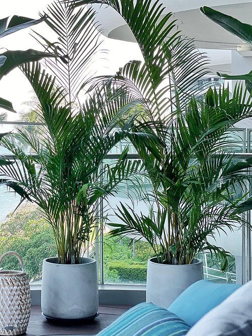 Areca palm (Chrysalidocarpus lutescens)