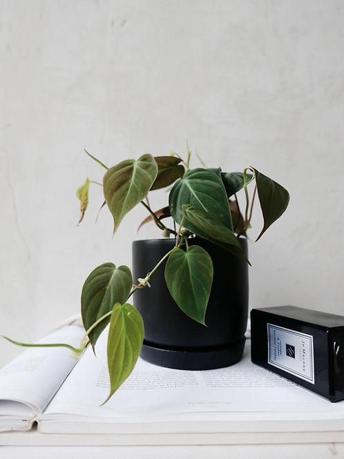 Philodendron Micans in BETONI Concrete Pot(10cm)
