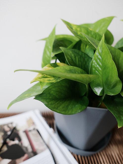 Pothos (Money Plant) in 12A Plastic Pot (15cm)