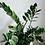 Thumbnail: ZZ (Zamioculcas Zamiifolia)