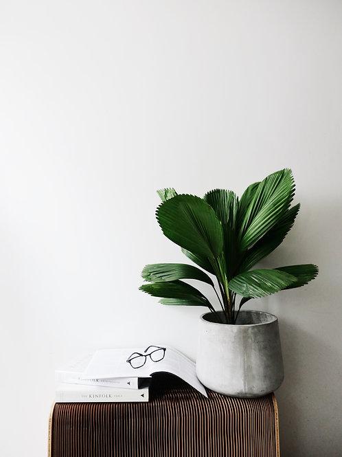 Licuala Grandis (Ruffled Fan Palm) in BETONI Concrete Pot (Big-base 28cm)
