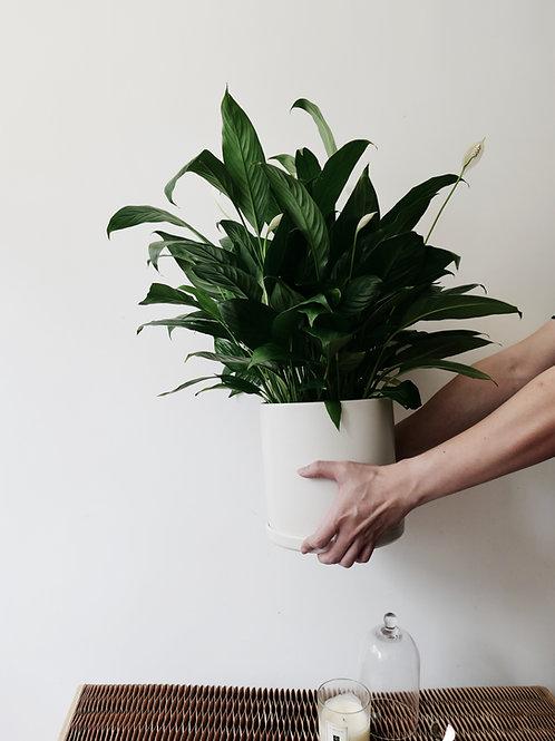 Peace Lily (Large) in TILLE Ceramic Pot (20cm)