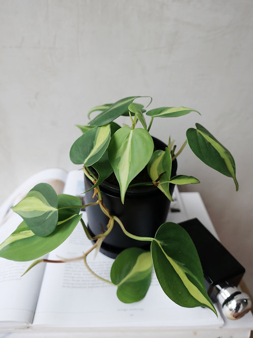 Philodendron Brazil in BETONI Concrete Pot(10cm)