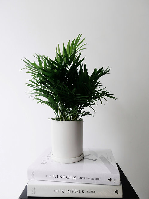Parlor Palm (Chamaedorea Elegans) in TILLE Ceramic Pot (13cm)