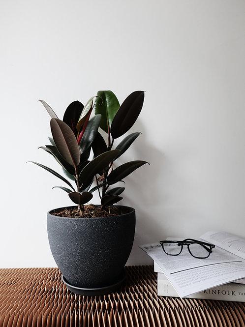 Ficus Elastica Burgundy in KIVI Stone-looking Pot (19cm)