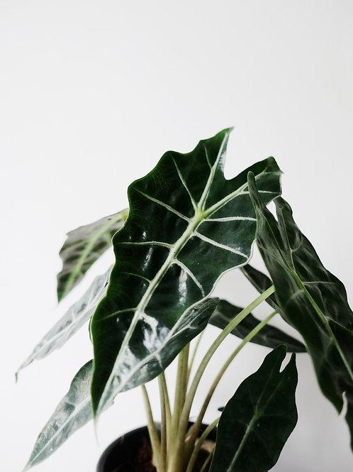 Alocasia Amazonica in TILLE Ceramic Pot (13cm)