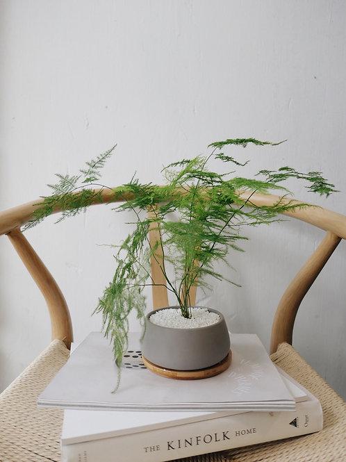 Asparagus Fern in BILLE Ceramic Pot (11cm)