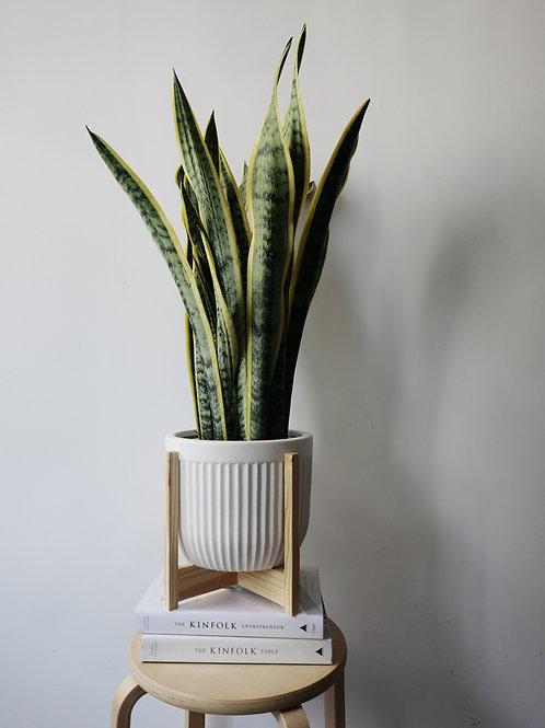 Sansevieria Trifasciata (Snake Plant) in LINJE Ceramic Pot Set