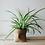 Thumbnail: Spider Plant (Chlorophytum Comosum) in Canvas Bag