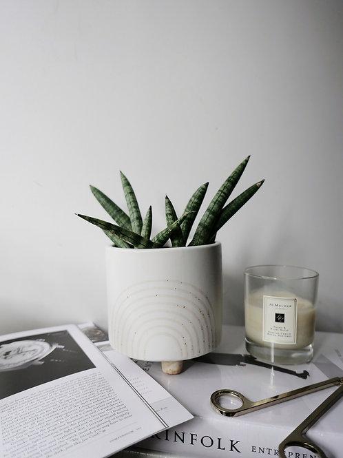 Sansevieria Cylindrica in RAY Ceramic Pot (13.5cm)