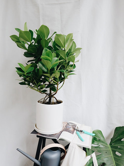 Clusia Rosea (Autograph Tree)in TILLE Ceramic Pot (20cm)