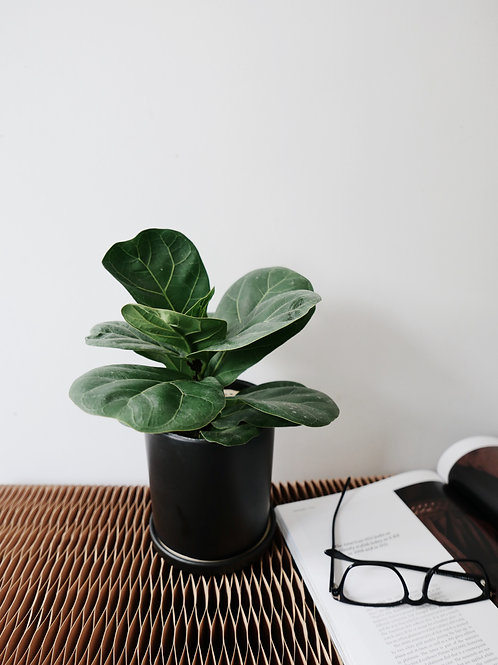 Ficus Lyrata in TILLE Ceramic Pot (13cm)