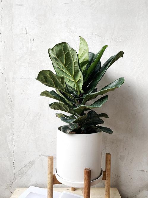 Ficus Lyrata in TILLE Ceramic Pot (20cm)