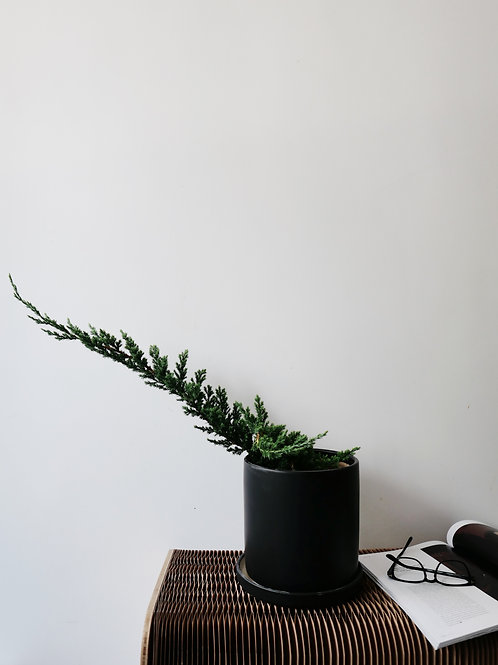 Sleeping Pine in TILLE Ceramic Pot (20cm)
