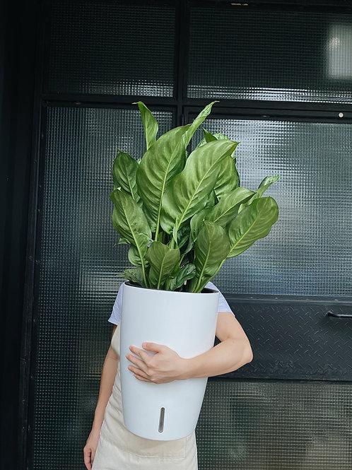 Aglaonema Freeman in Self-watering Pot (Cone)