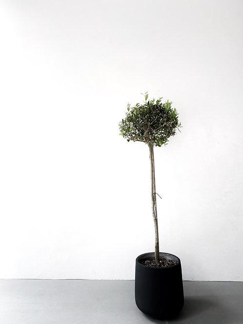 Olive Tree in BETONI Concrete Pot (Egg-shape Medium)