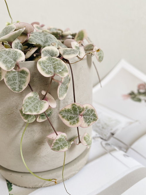 String of Hearts (Variegated) in BETONI Cement Pot