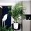 Thumbnail: Areca palm (Chrysalidocarpus lutescens)