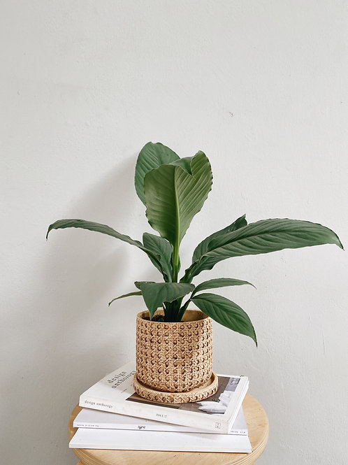 Spathiphyllum Sensation (Peace lily) in BALI Ceramic Pot (14.5cm)