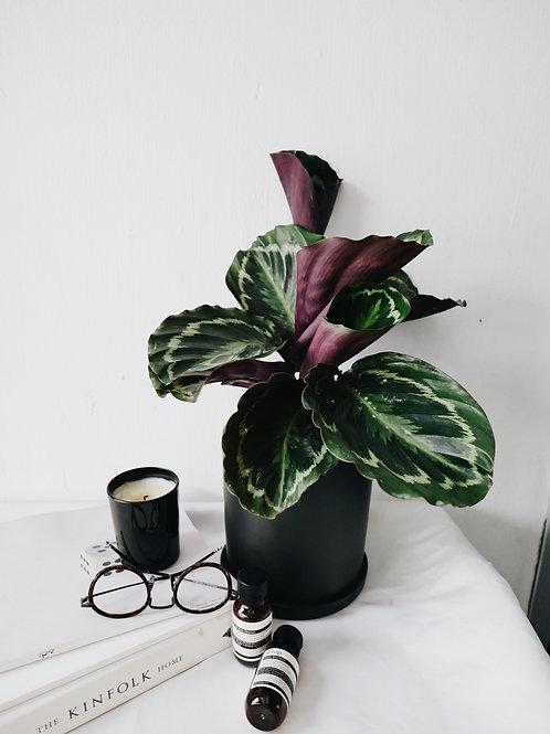 Calathea Roseopicta in TILLE Ceramic Pot (13cm)