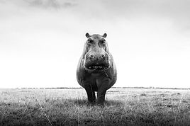 Woolff_Gallery_Graeme_Purdy_One Hippo_Ph