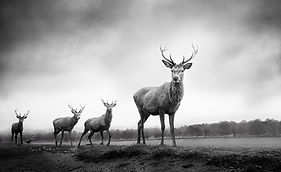Woolff_Gallery_Graeme_Purdy_Four Stags_P