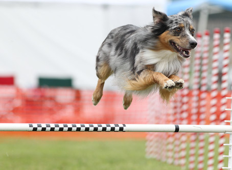 When and how to start trialing in agility