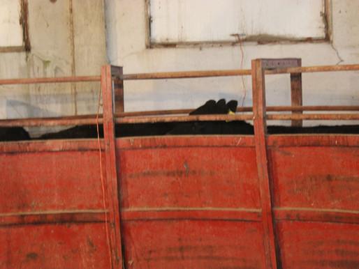 Temple Grandin Cattle Chute