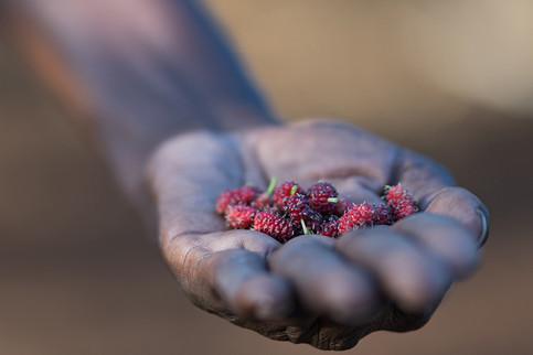 Des mûres sont récoltées par le propriétaire d'une ferme de Harou, dans la région de Dikhil.