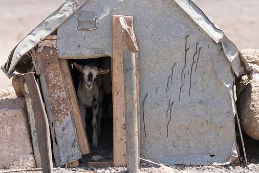 Un cabri reste à l'abri du soleil dans la chèvrerie d'un projet agropastoral de l'Union Européenne et de la FAO, à Ab-Aytou, dans la région de Dikhil.
