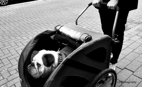 Project Normalness by Documentary Photographer Cilla Rijnbeek: an English Bulldog in a dog buggy in Antwerpen.