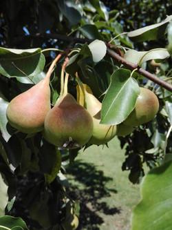 Birnen im Obstgarten