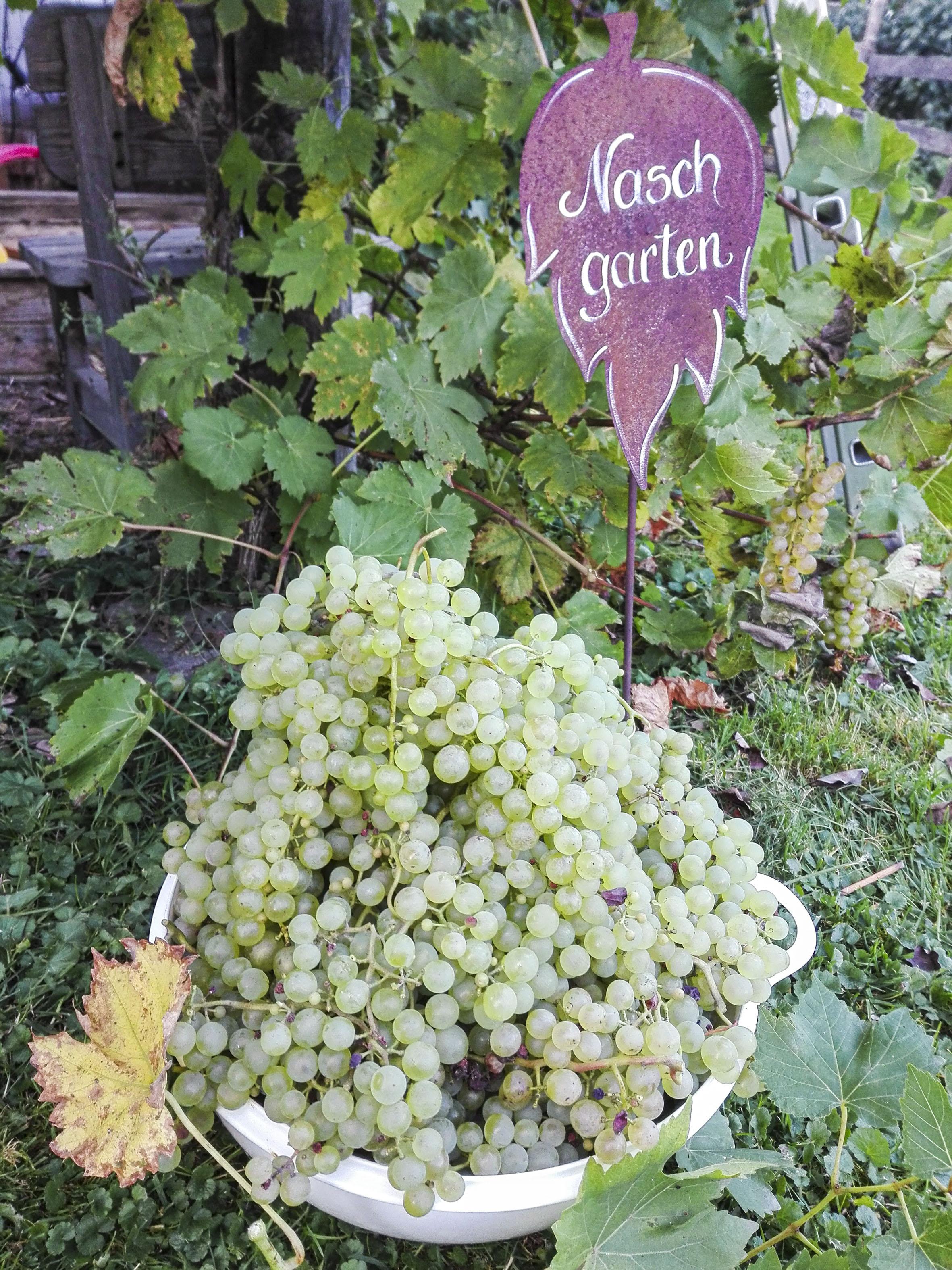 Weintrauben im Nachgarten
